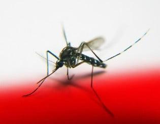 mosquito-315x244