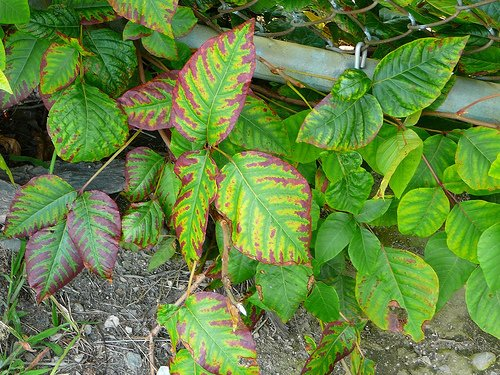 Treating Poison Ivy Naturally