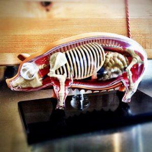 pig-anatomy
